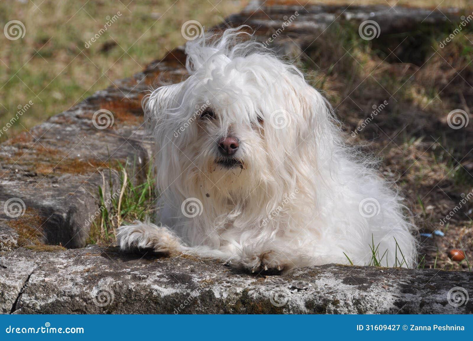Cão pequeno branco