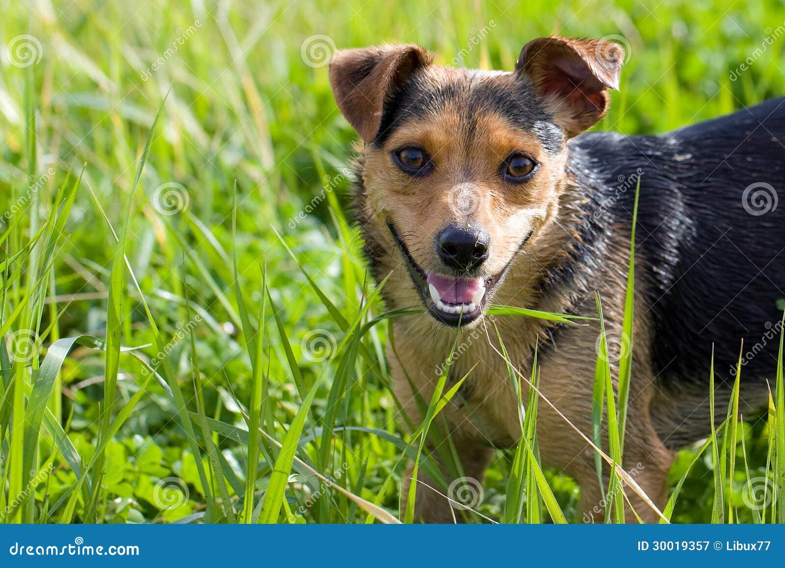 Cão na grama alta