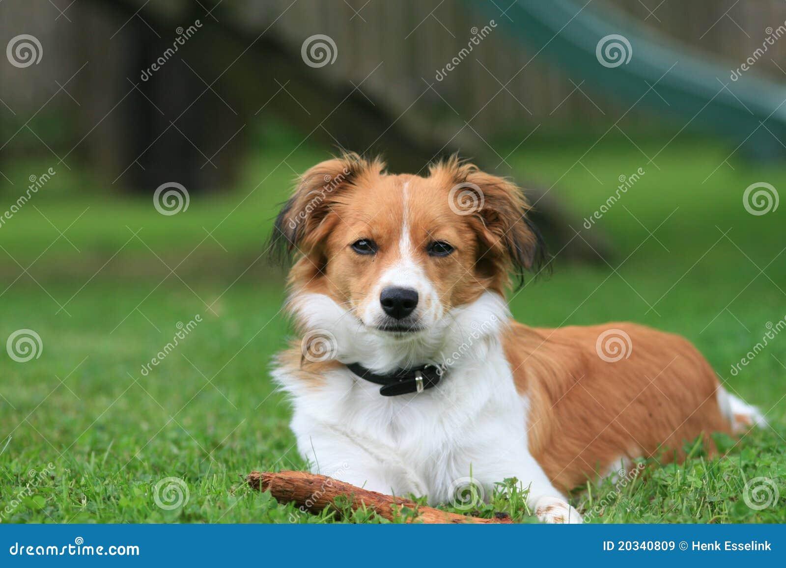 Cão pequeno na grama