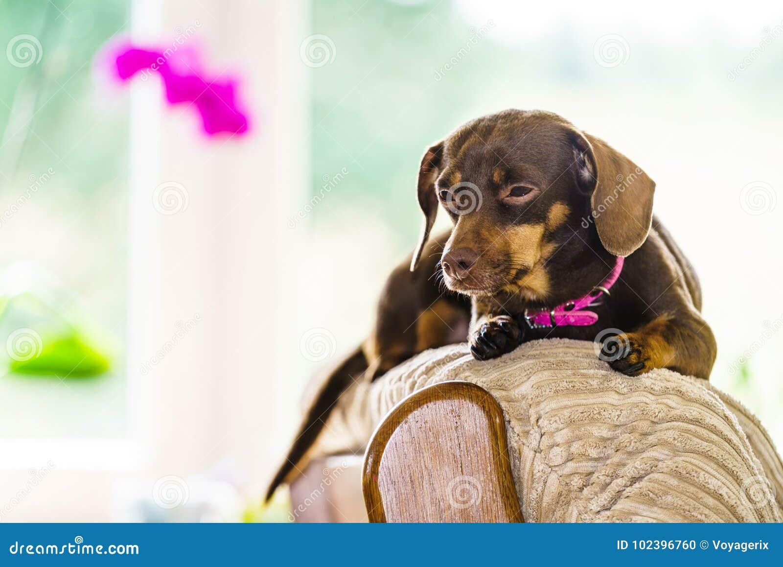 Cão pequeno que senta-se no sofá