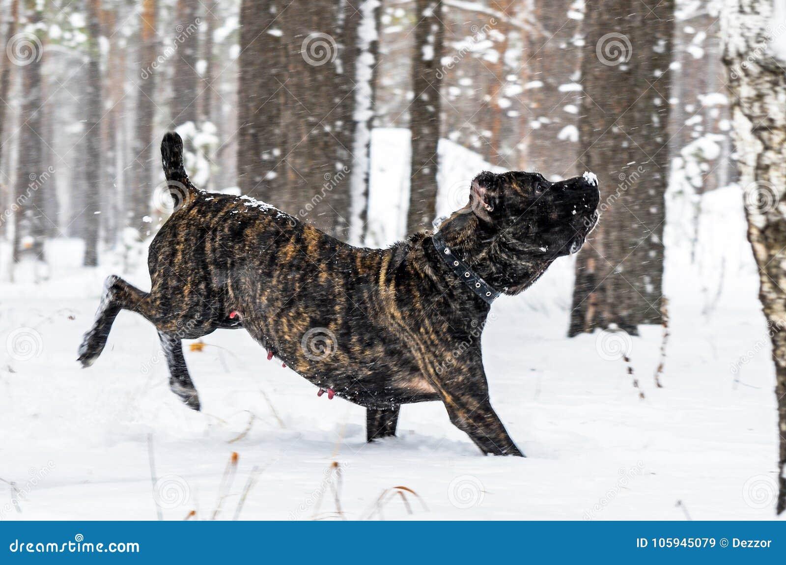 Cão preto grande Cane Corso na caminhada do inverno na neve na floresta