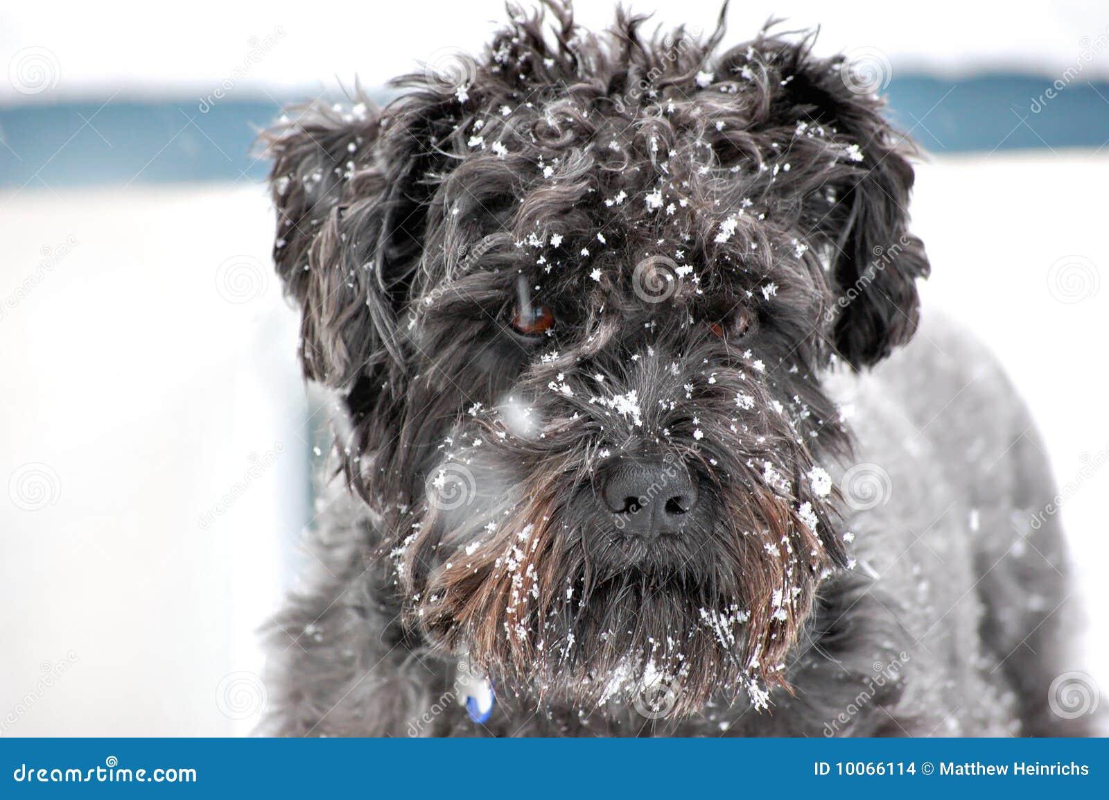 Cão preto na tempestade da neve