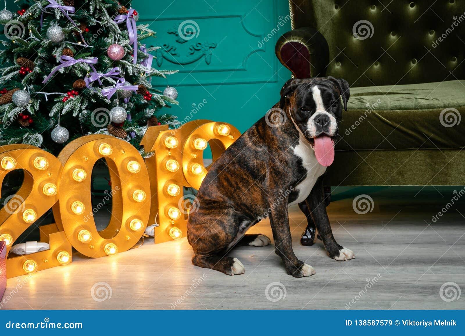 Cão, pugilista alemão marrom-e-branco, com a menina de projeção da língua sentando-se na frente da árvore de Natal, figuras arden
