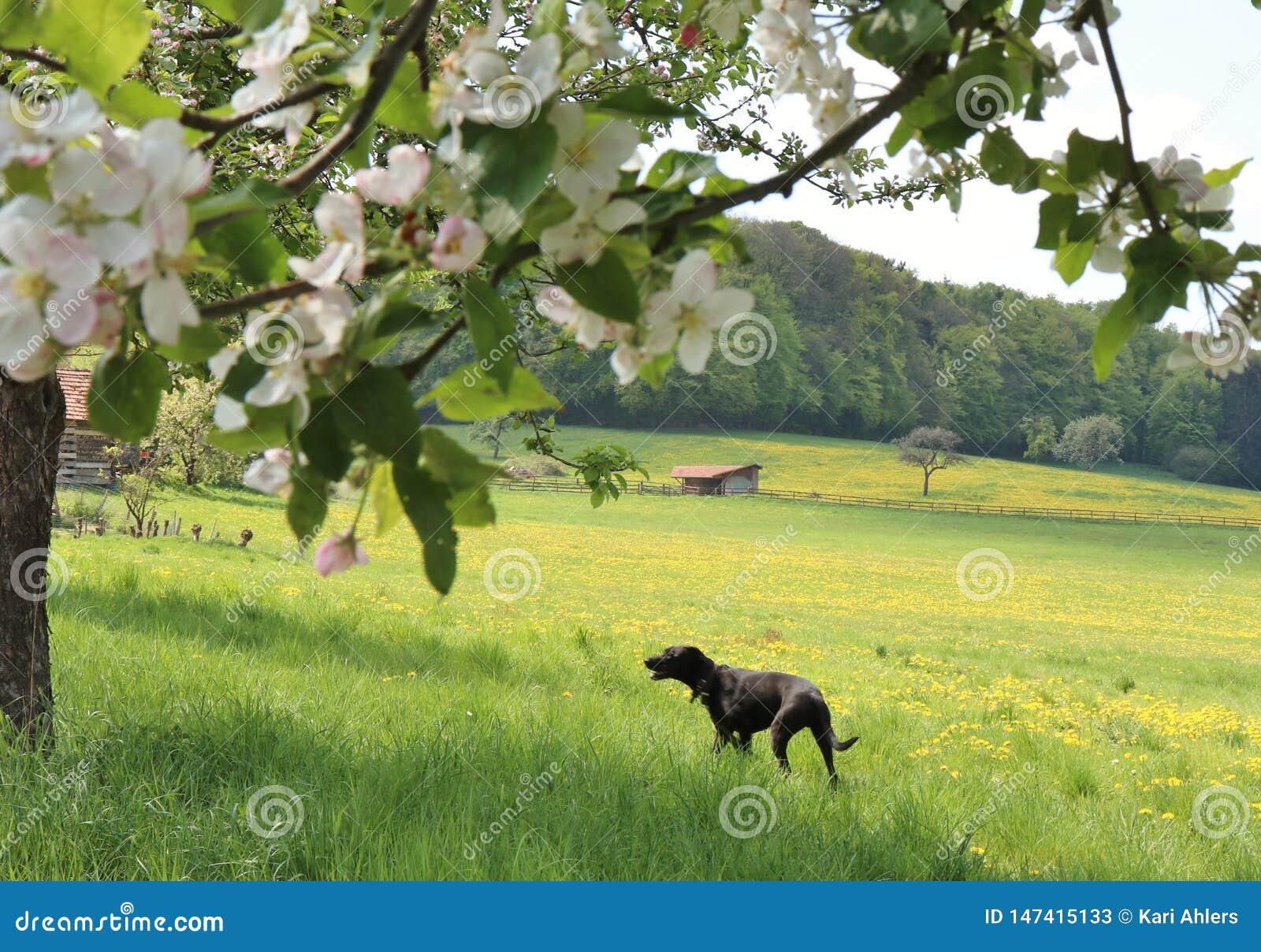 Cão que anda em um prado flor-enchido em uma exploração agrícola em Alemanha na primavera