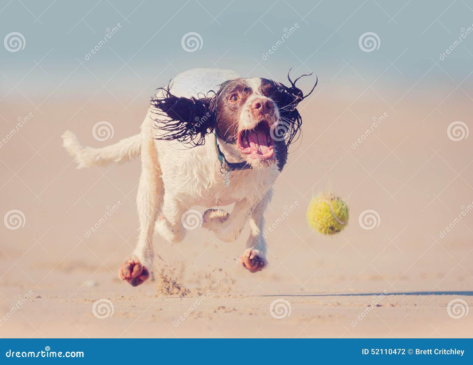 Cão que corre após a bola
