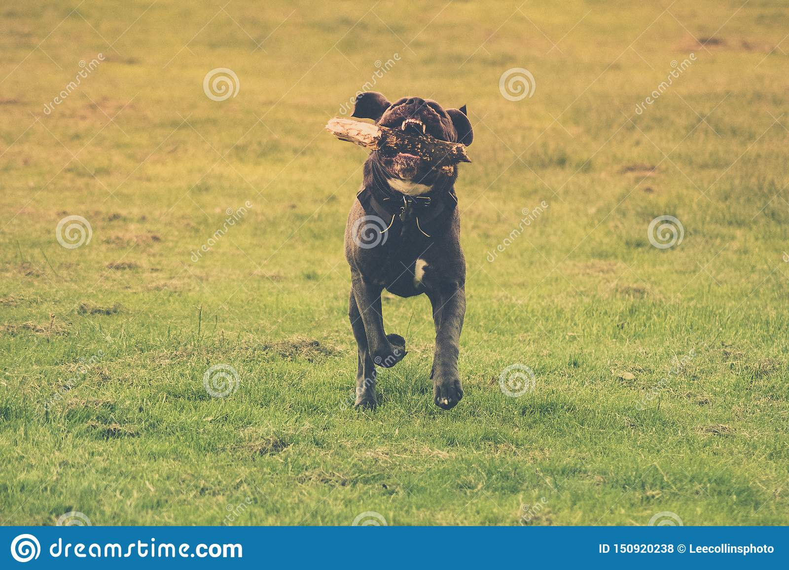 Cão que corre com uma vara em sua boca Fundo verde