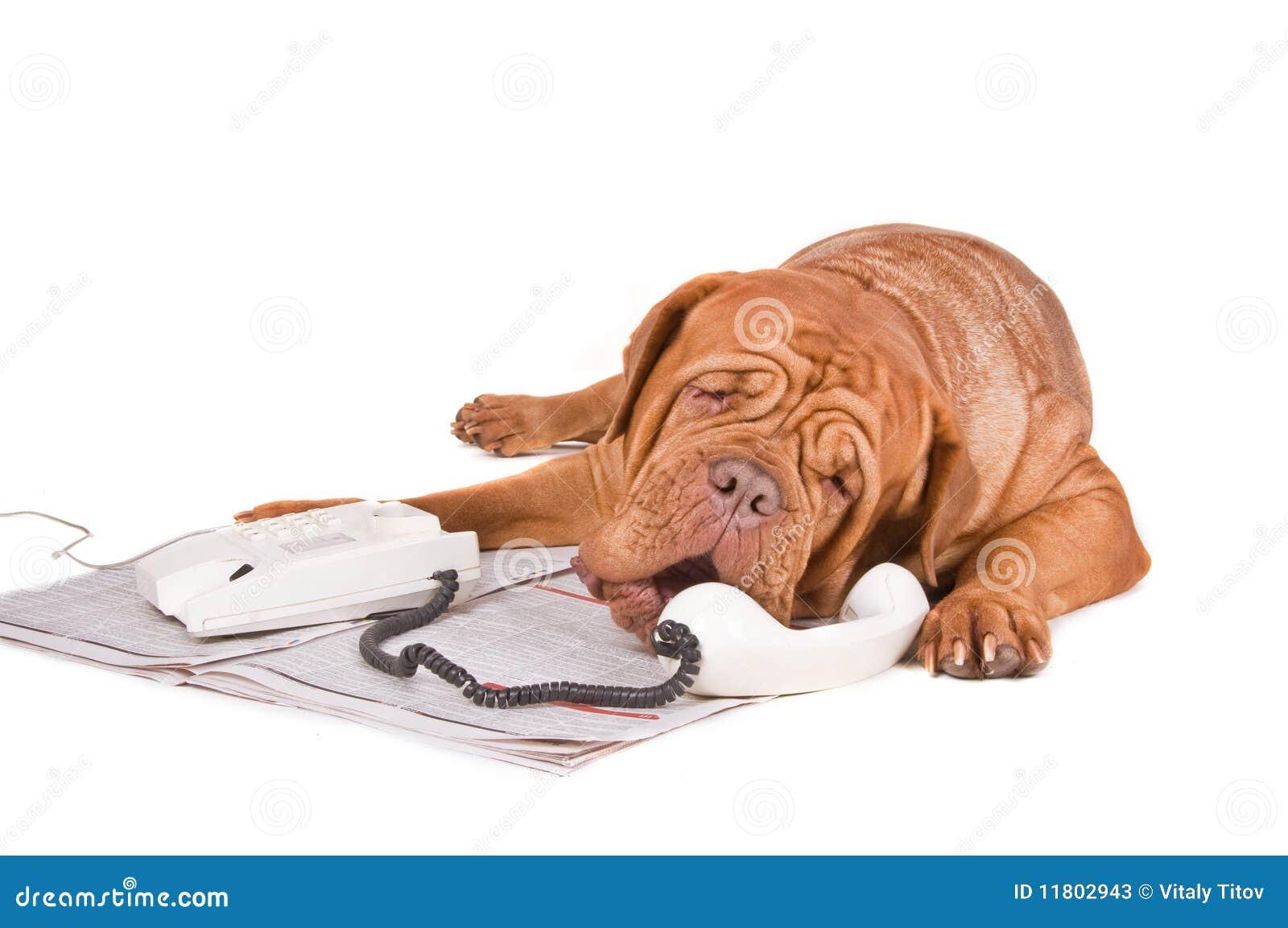 Cão que discute sobre o telefone