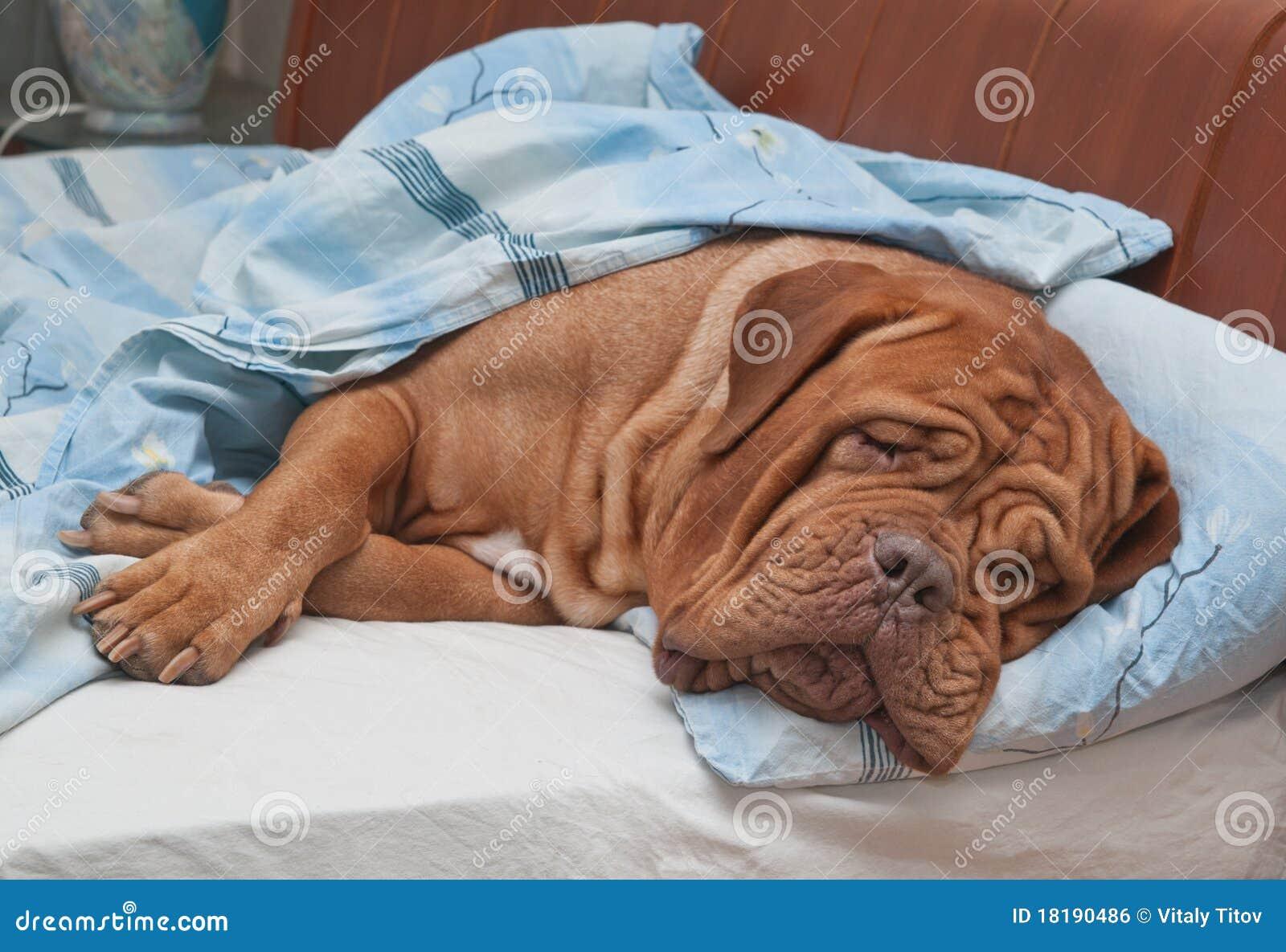 Cão que dorme doce na cama do proprietário