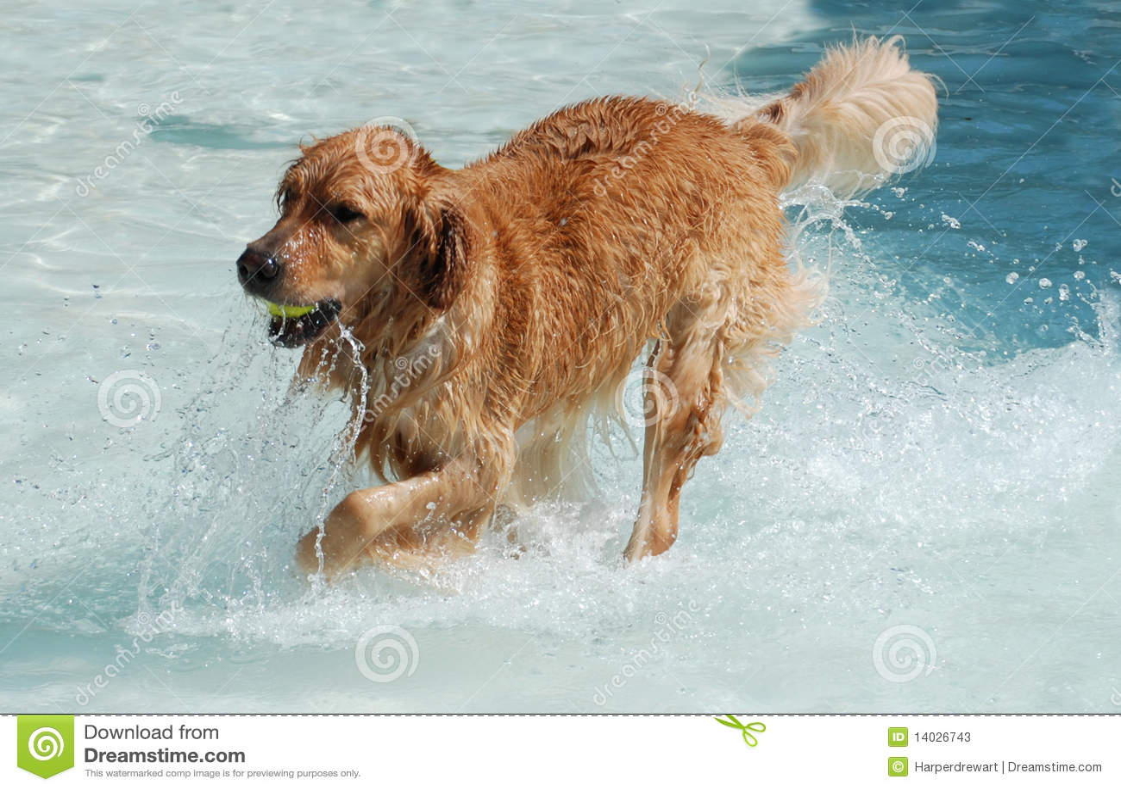 Cão que joga na água