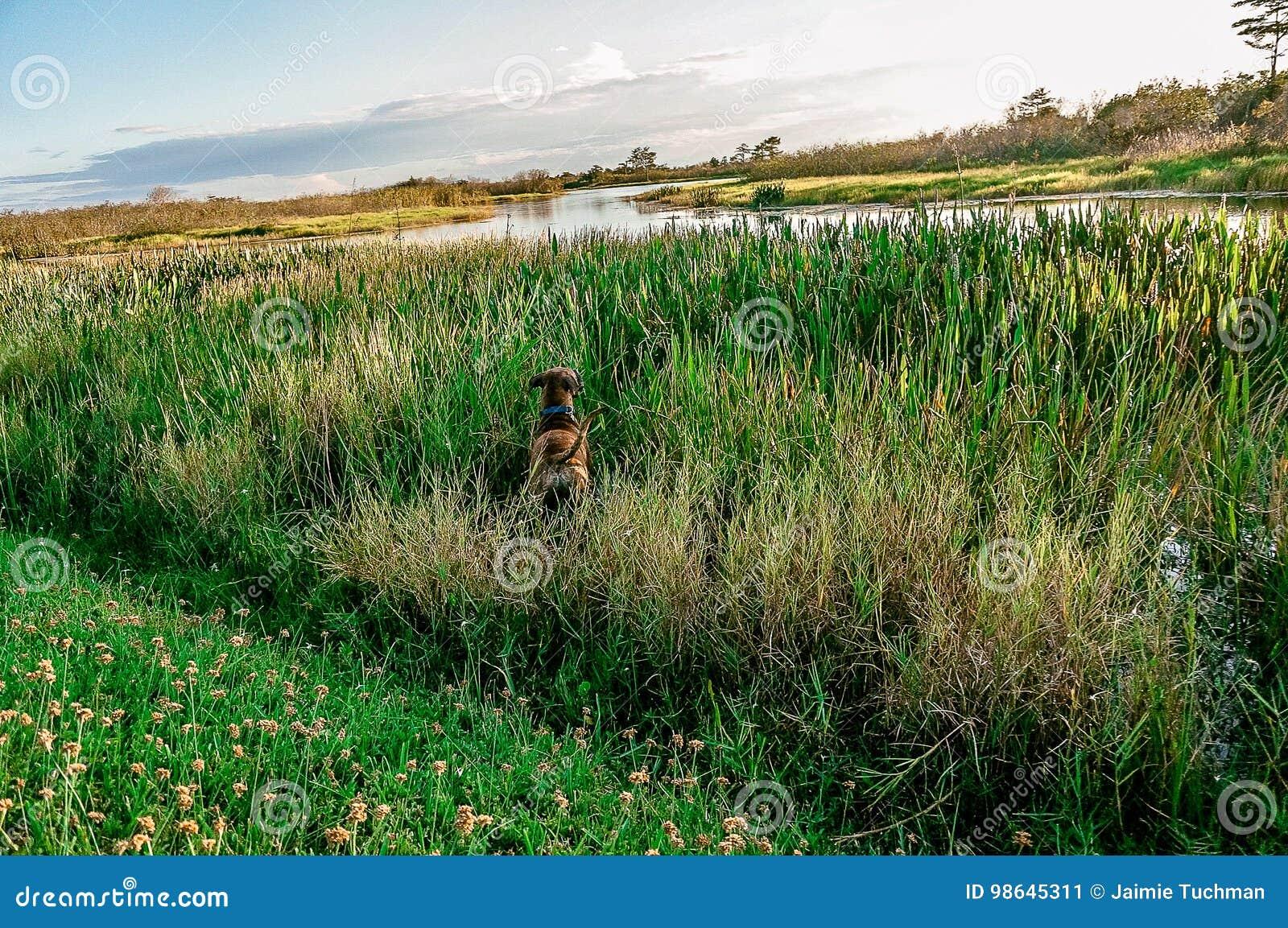 Cão que joga na grama alta do pântano