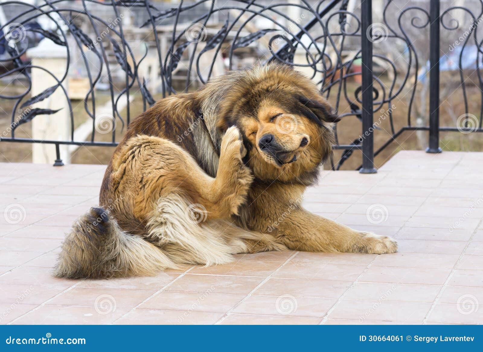 Cão que risca a pulga