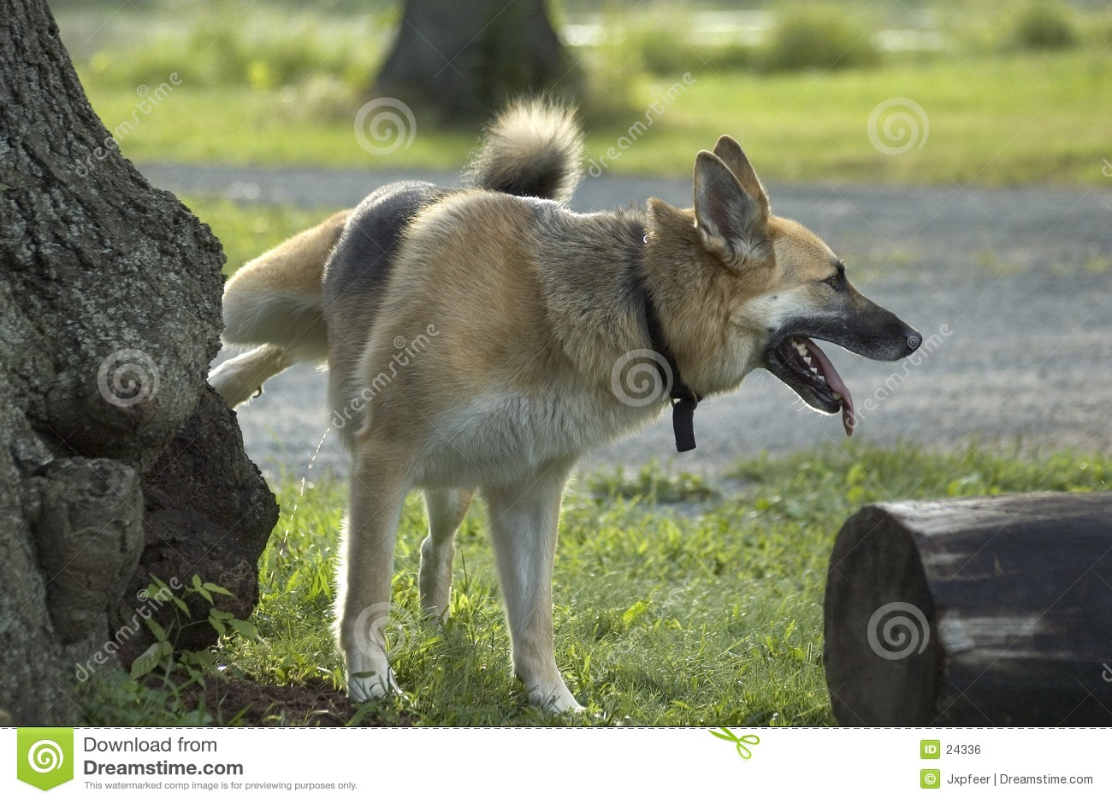 Cão que urina