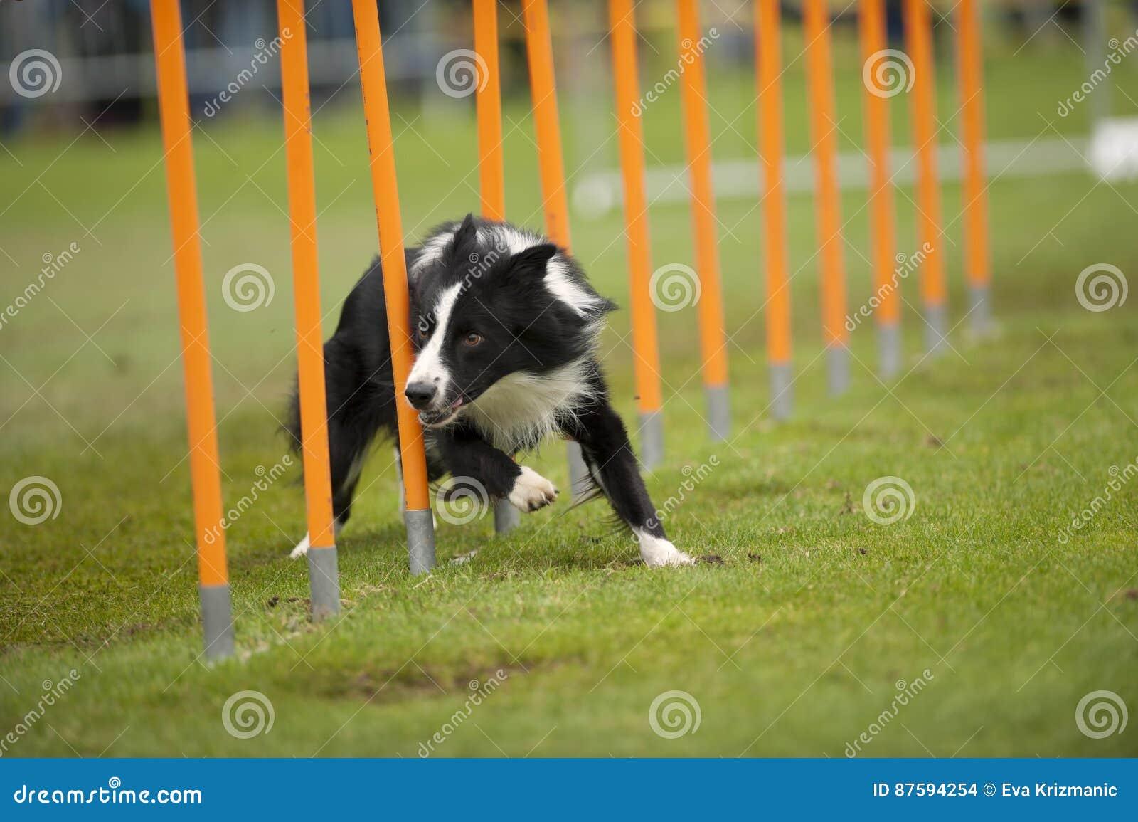 Cão rápido