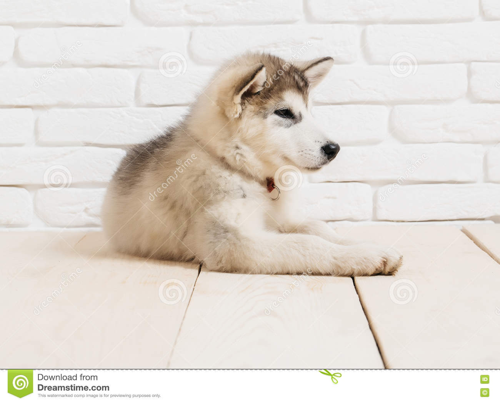 Cão ronco na madeira com tijolos
