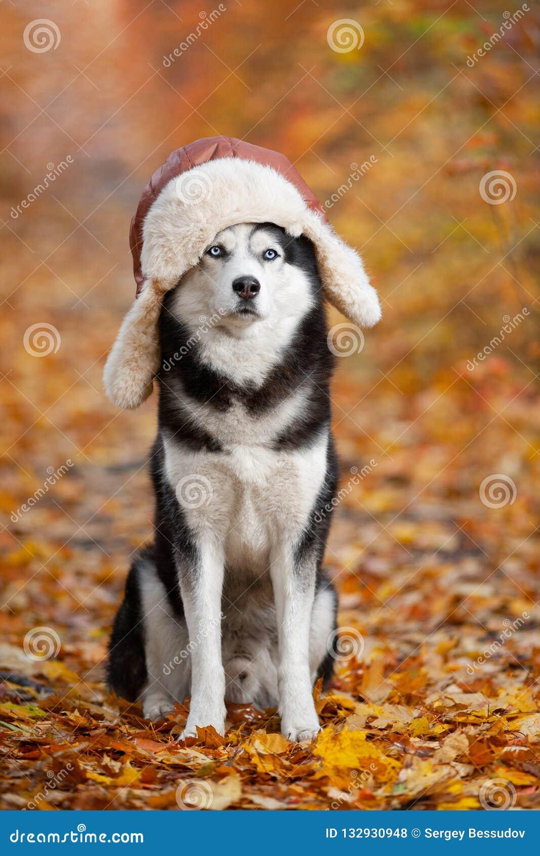 Cão ronco Siberian preto e branco em um chapéu com sittin dos earflaps