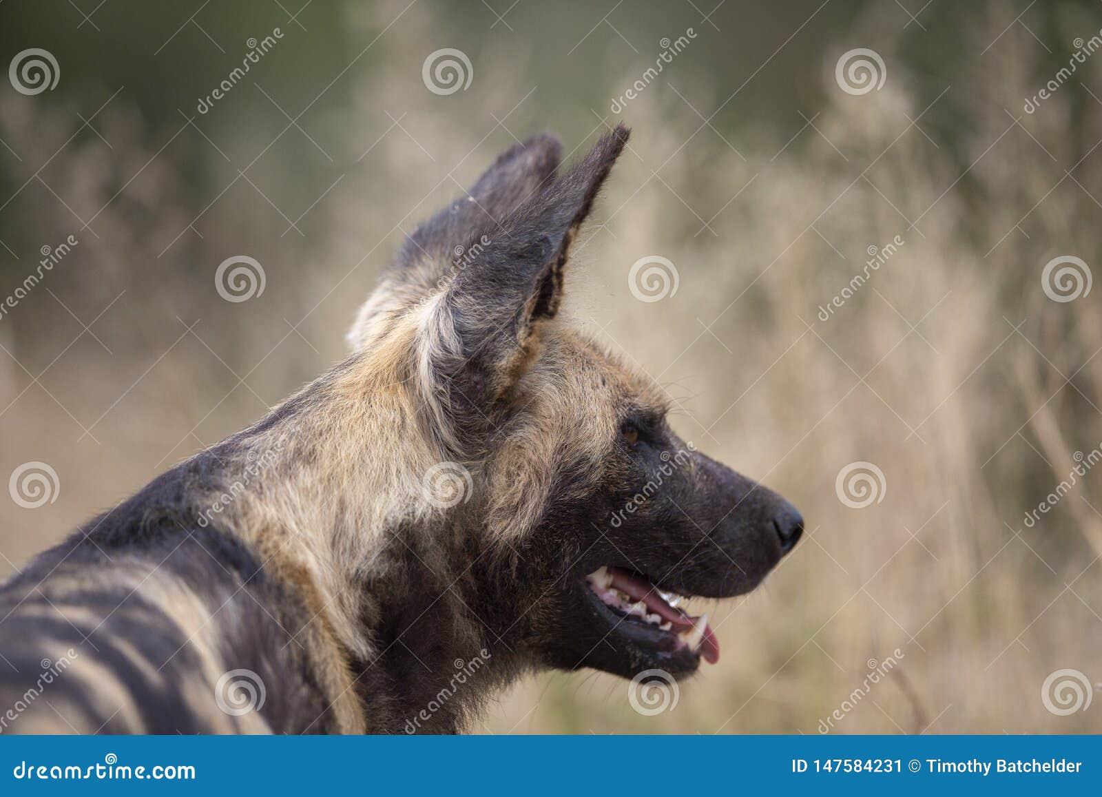 Cão selvagem africano no movimento