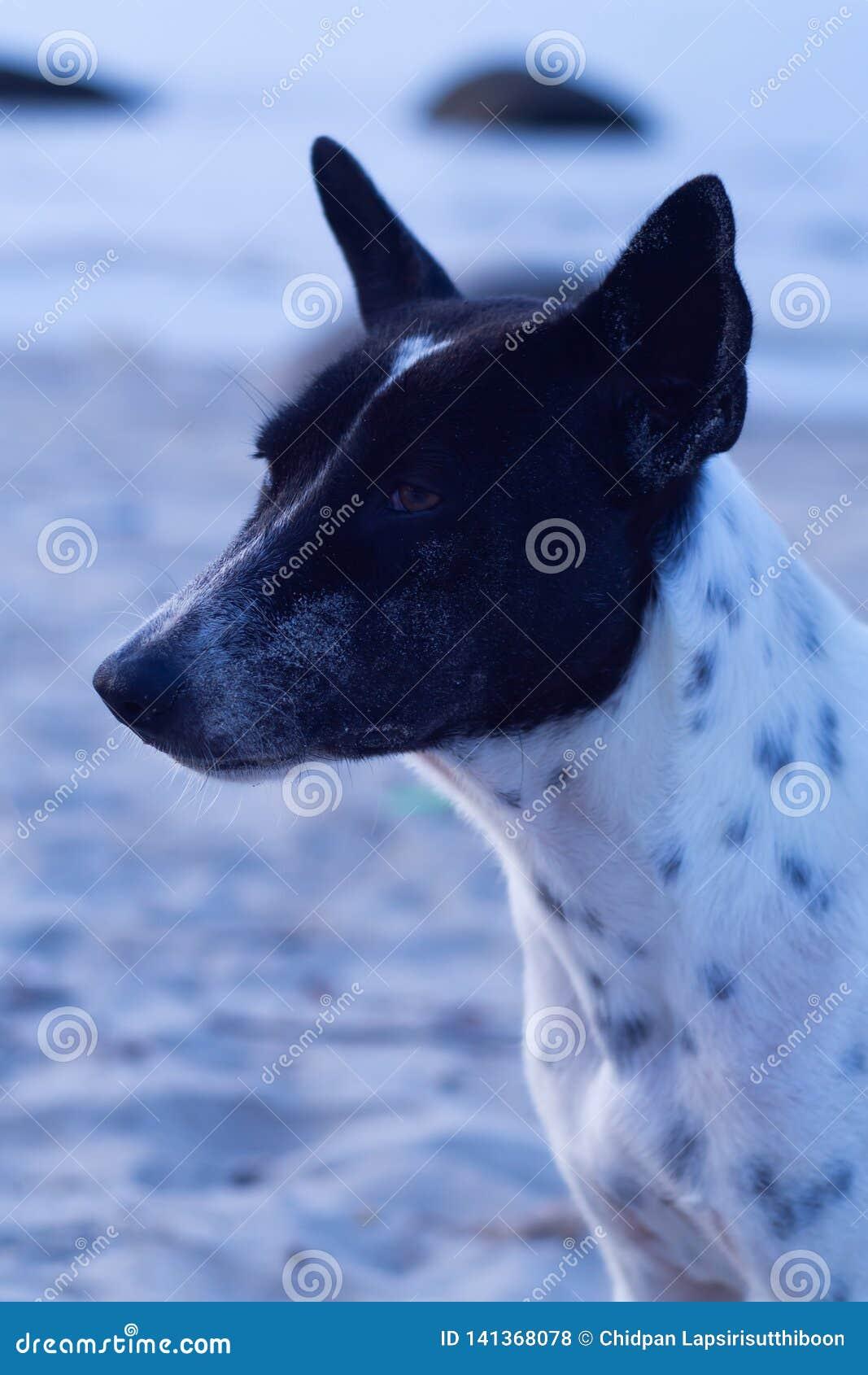 Cão tailandês com os pontos brancos e pretos no fundo da área da praia