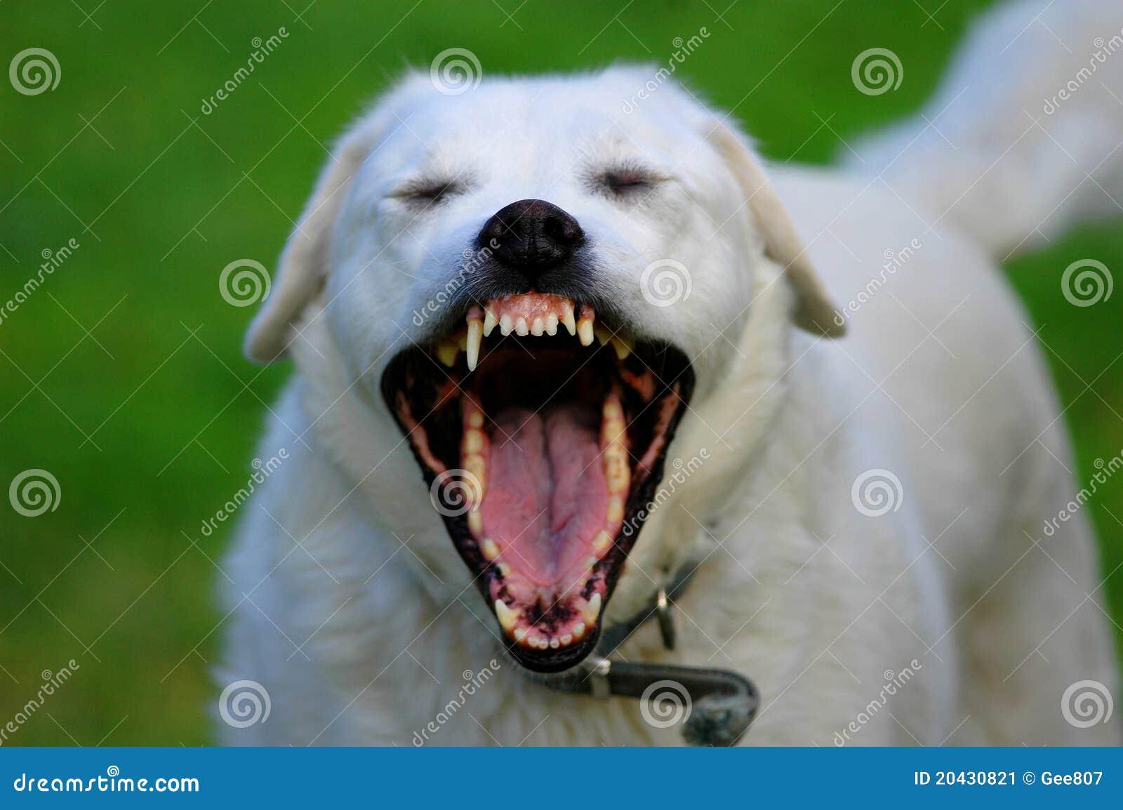 Cão Toothy
