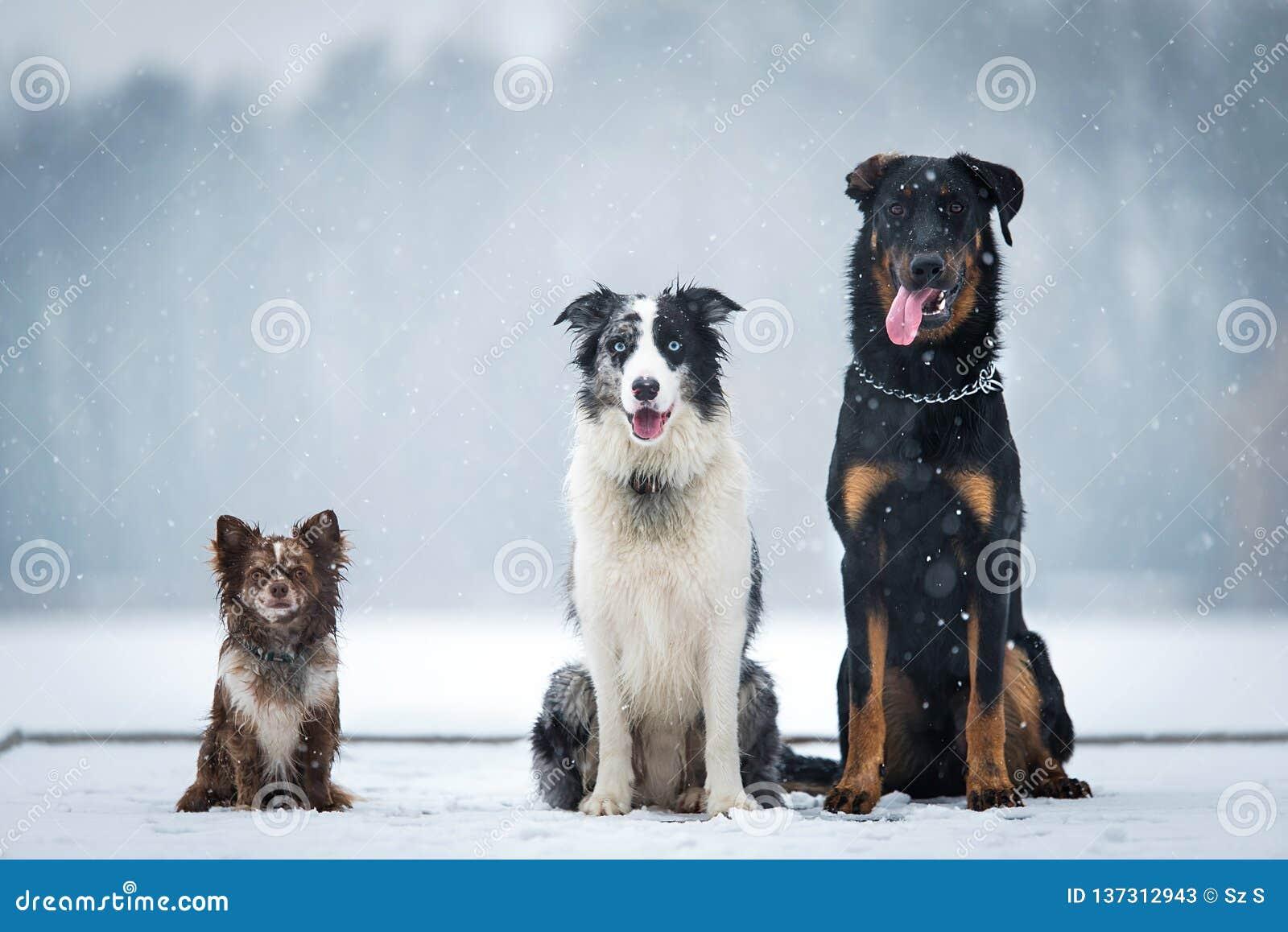 Cão três que senta-se no parque do inverno