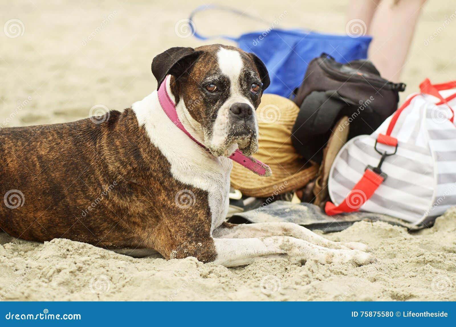 Cão velho que aprecia o dia na praia que embebe no sol & no tempo com a família