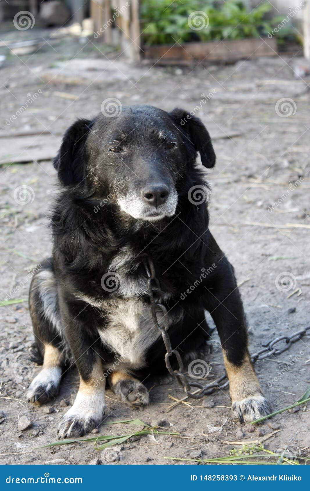 Cão velho triste do híbrido em uma corrente Cão desgrenhado, cão que guarda a casa
