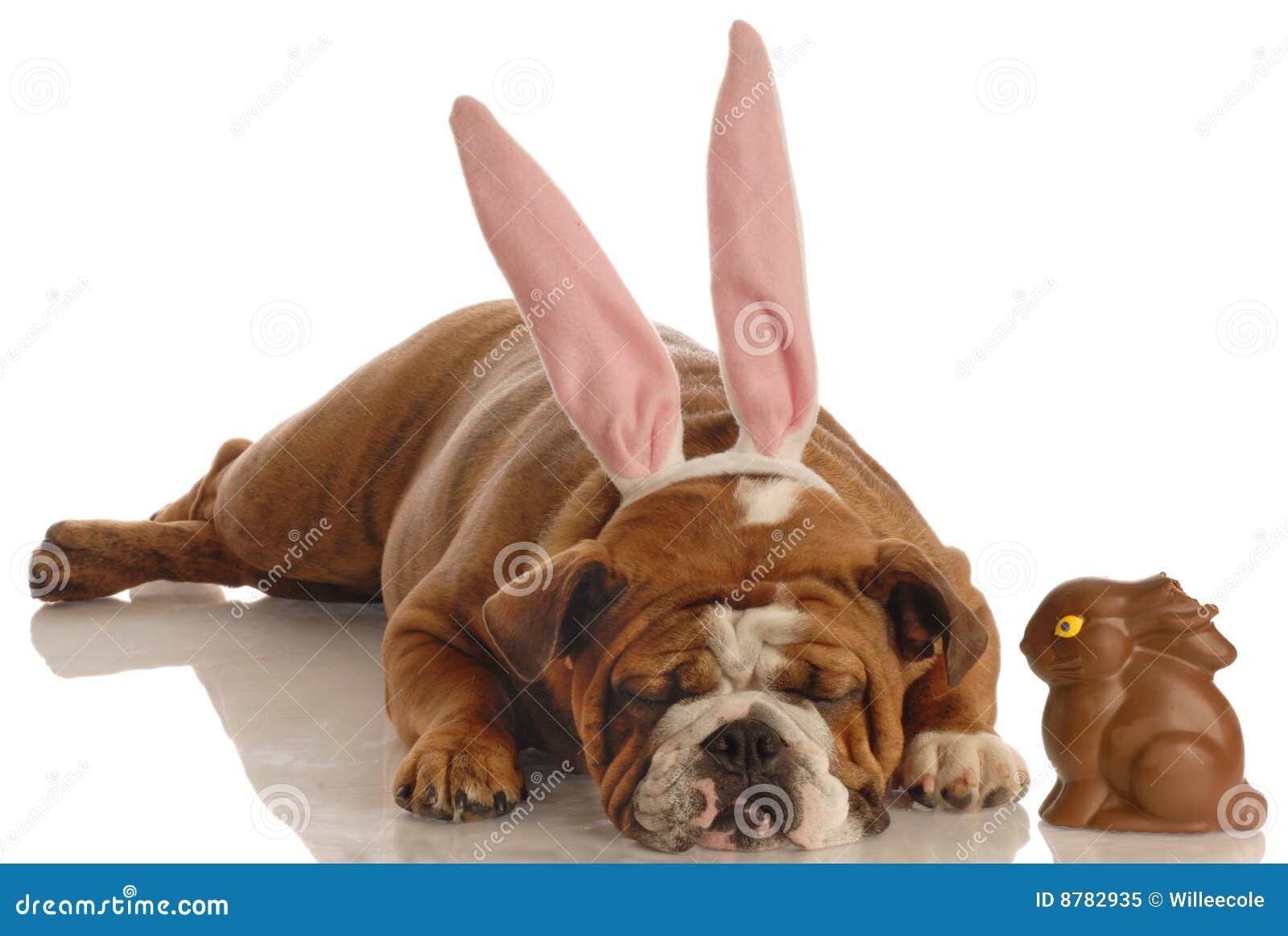 Cão vestido como o coelho de easter