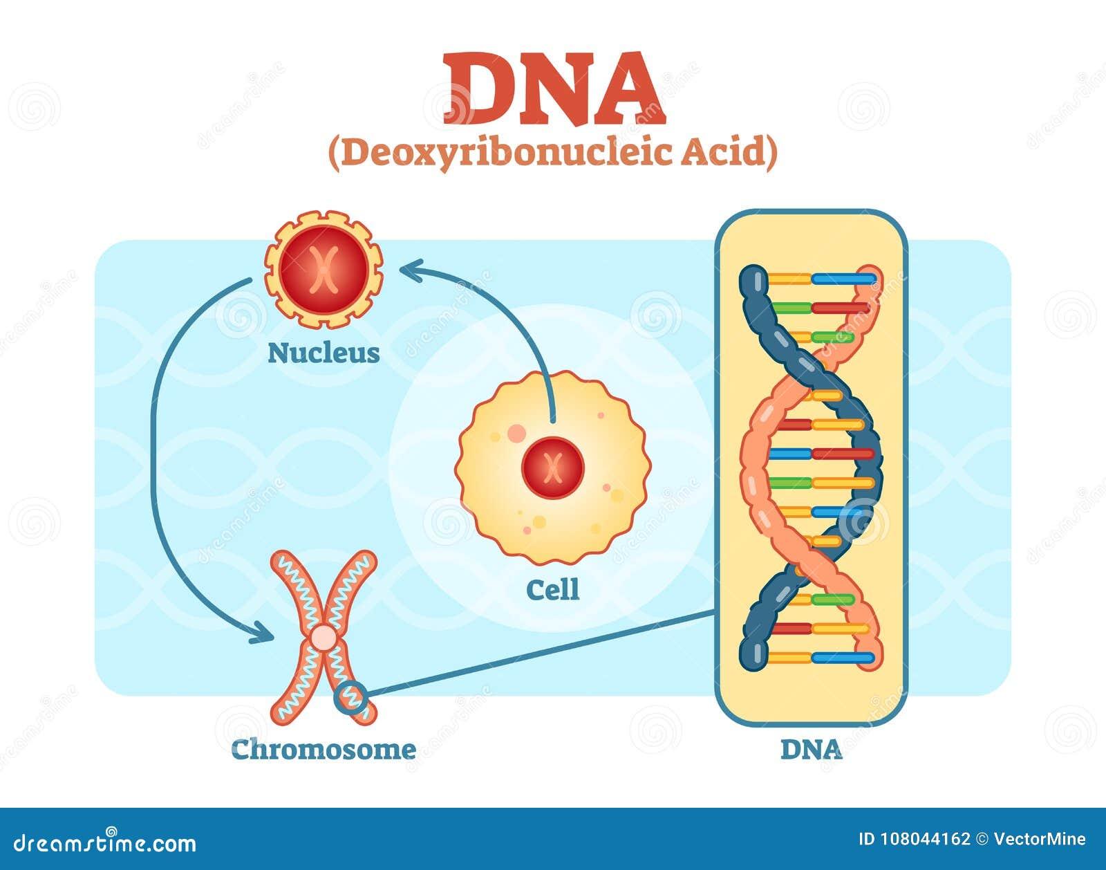 Célula - Núcleo - Cromosoma - DNA, Diagrama Médico Del Vector ...