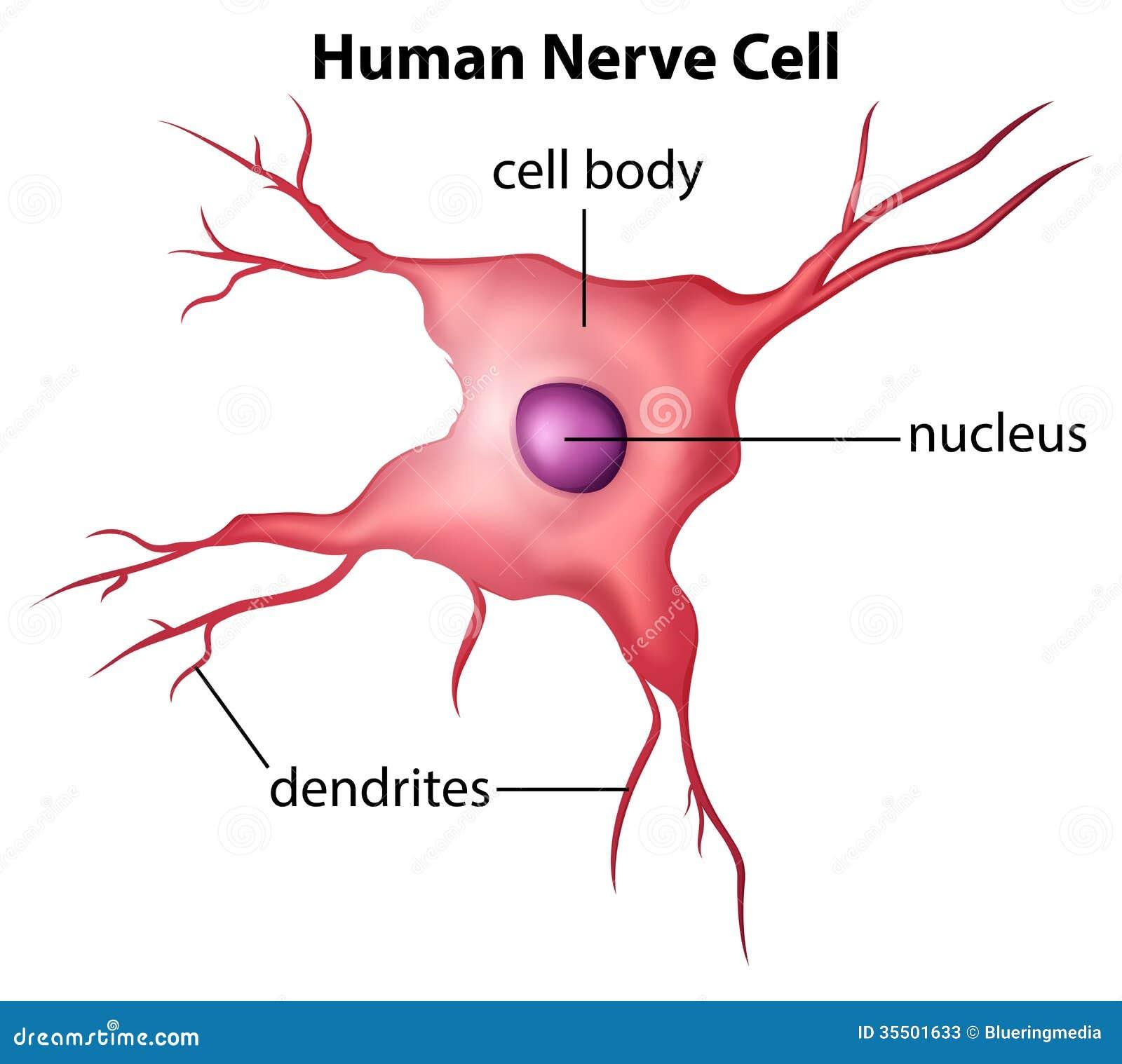 Resultado de imagen de la celula nerviosa