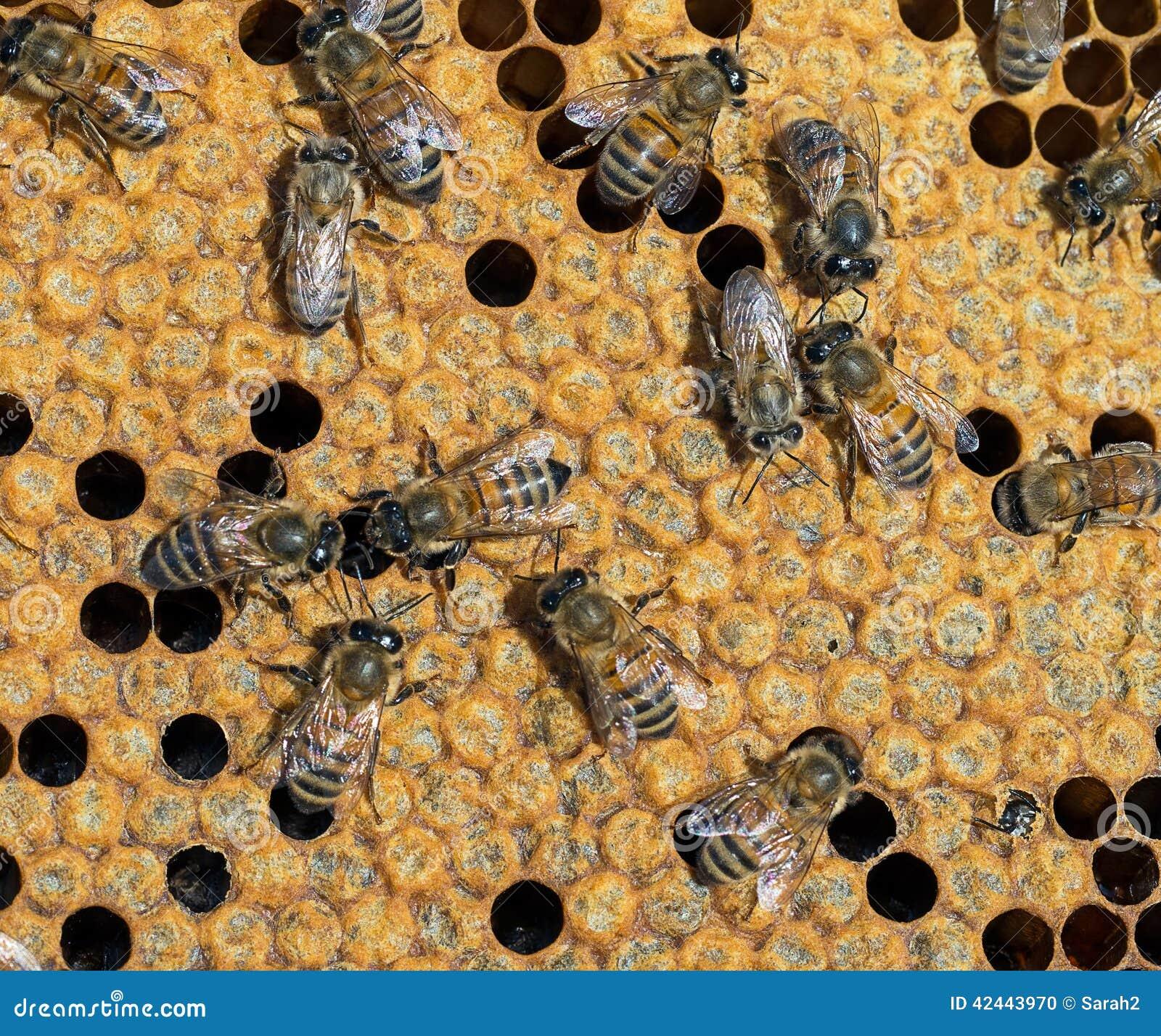 Células selladas para la metamorfosis, colmena interior Una nueva abeja emer