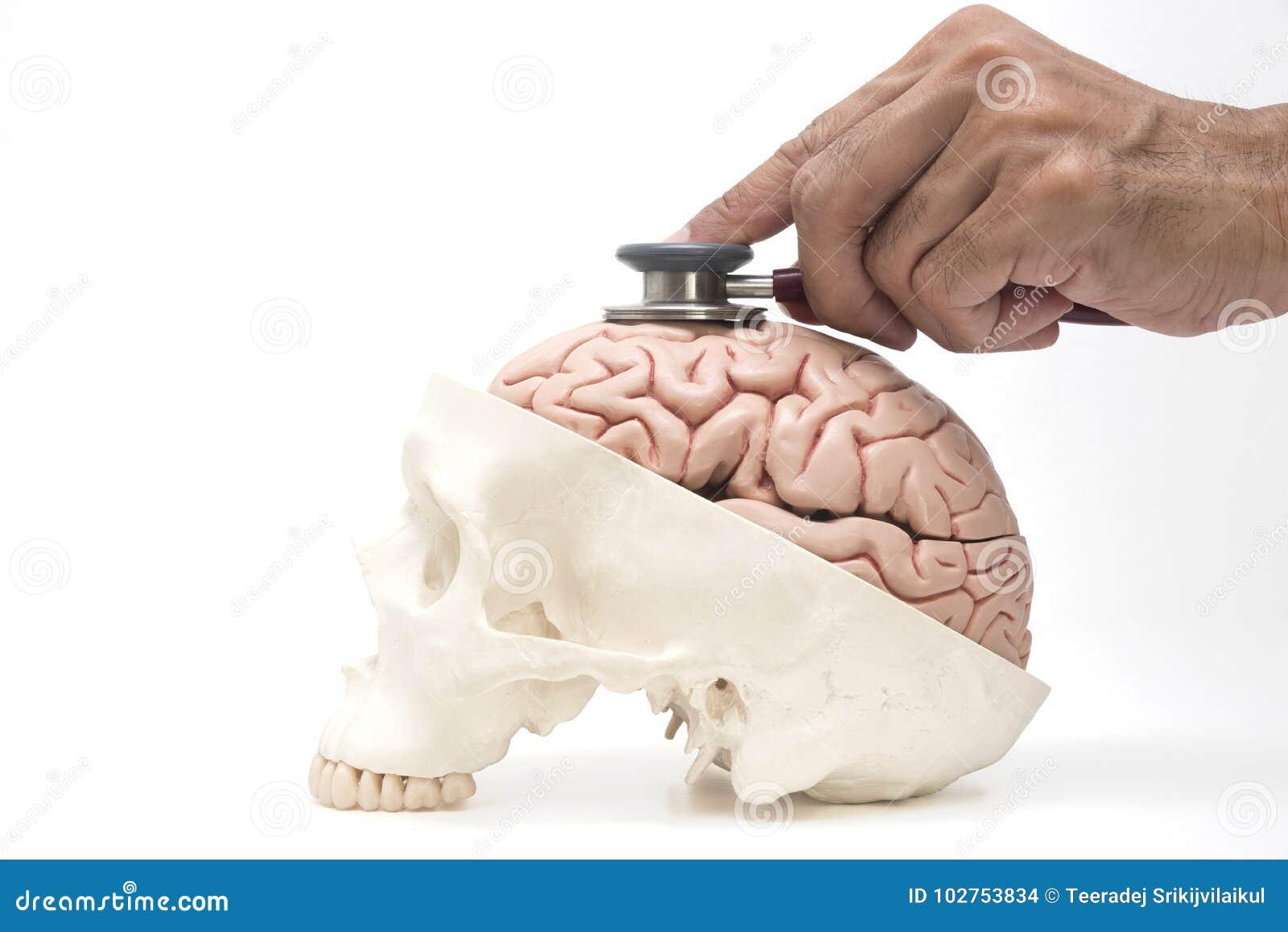 Cérebro humano, modelo do crânio e estetoscópio do ` s do doutor na parte traseira do branco