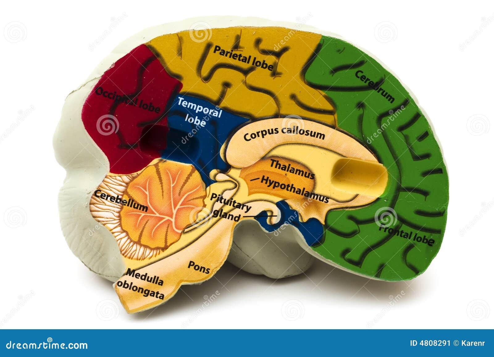 Cérebro modelo