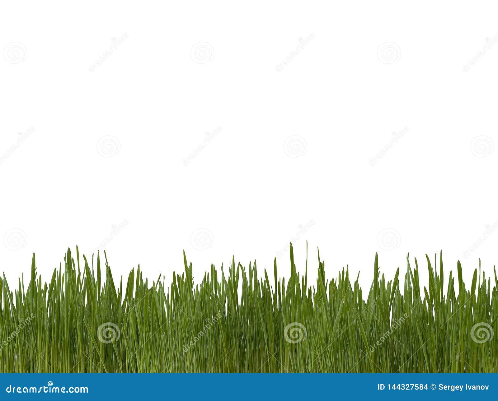 Césped verde de los brotes brillantes frescos de la hierba en el fondo blanco