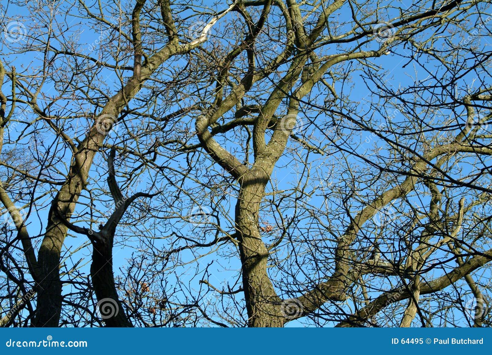 Céu dos invernos & árvores - Scotland