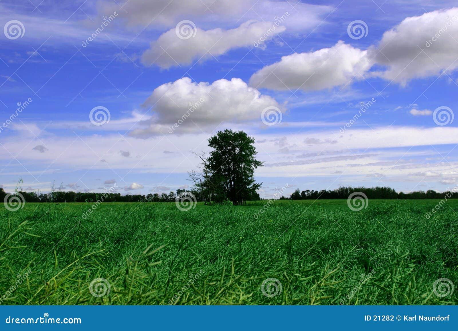 Céus azuis, campo verde e árvore