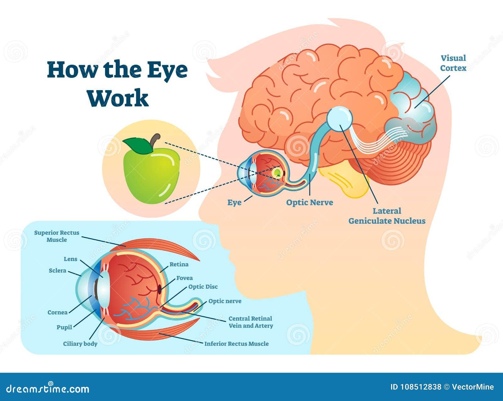 Hermosa Diagrama De Marcado Cerebro Molde - Imágenes de Anatomía ...