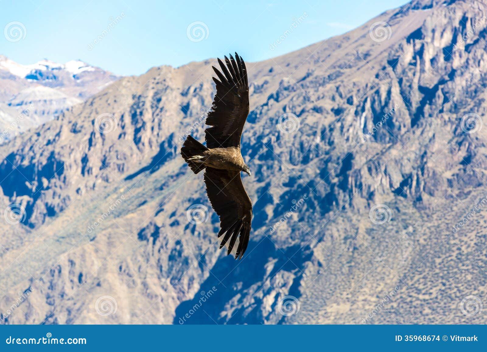 Cóndor del vuelo sobre el barranco de Colca, Perú, Suramérica. Este cóndor el pájaro de vuelo más grande