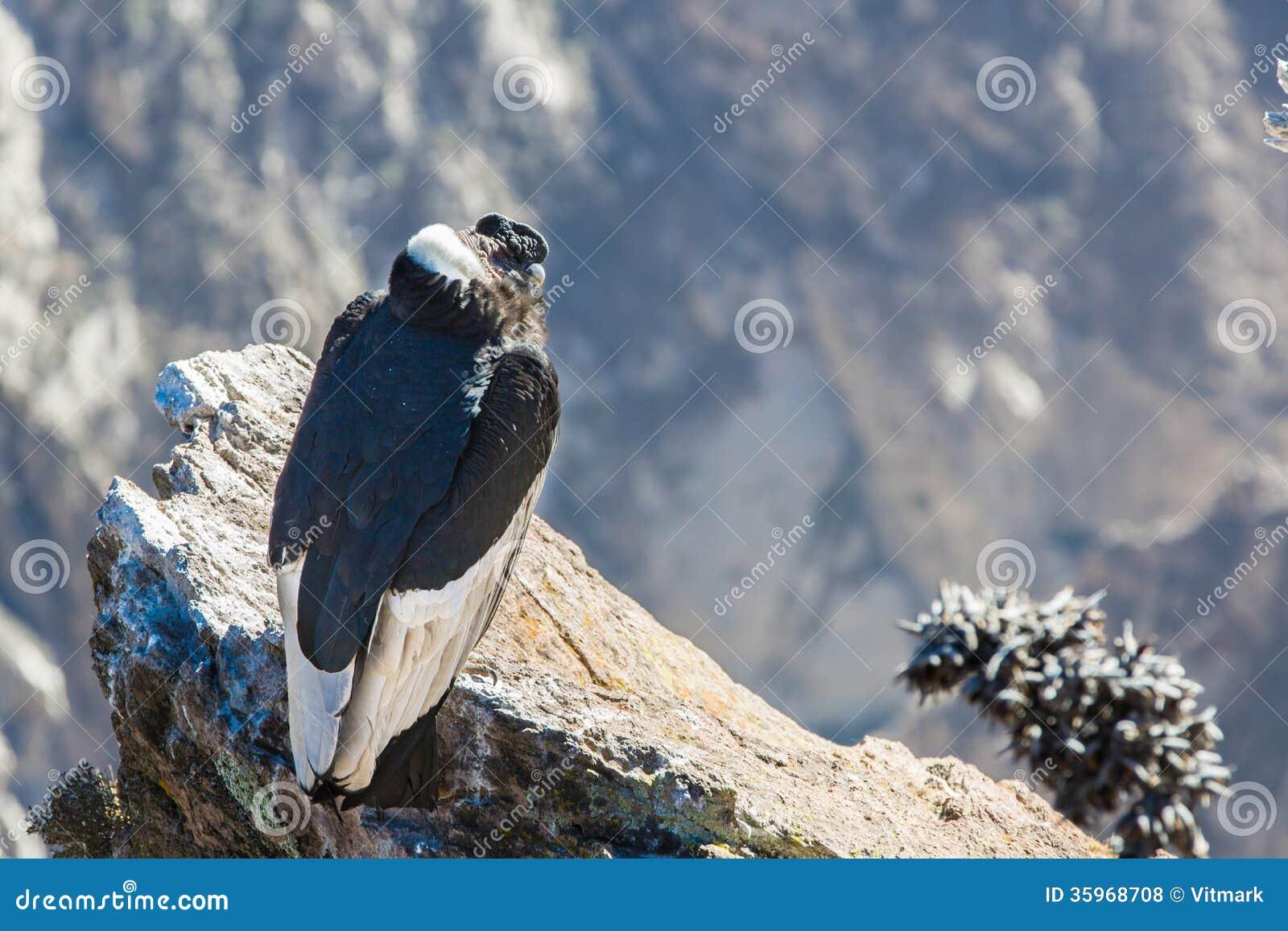 Cóndor en la sentada del barranco de Colca, Perú, Suramérica. Esto es un cóndor el pájaro de vuelo más grande