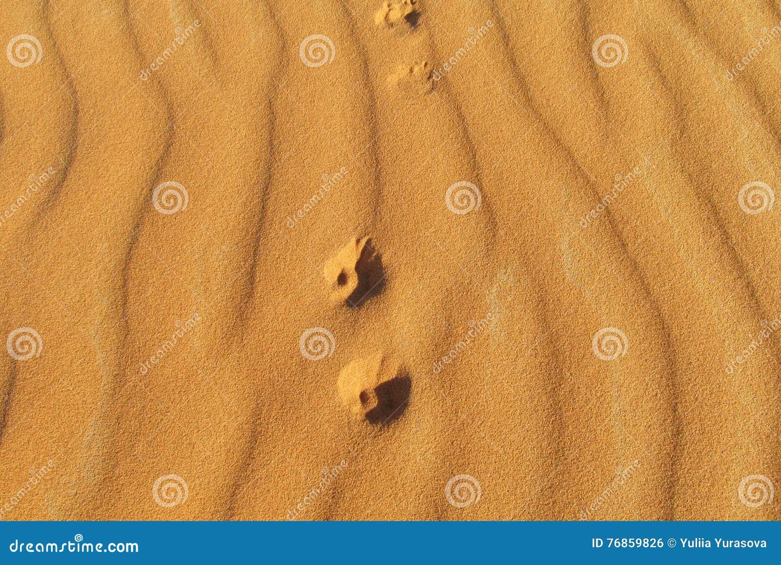 Cópias do pé de uma raposa pequena na areia