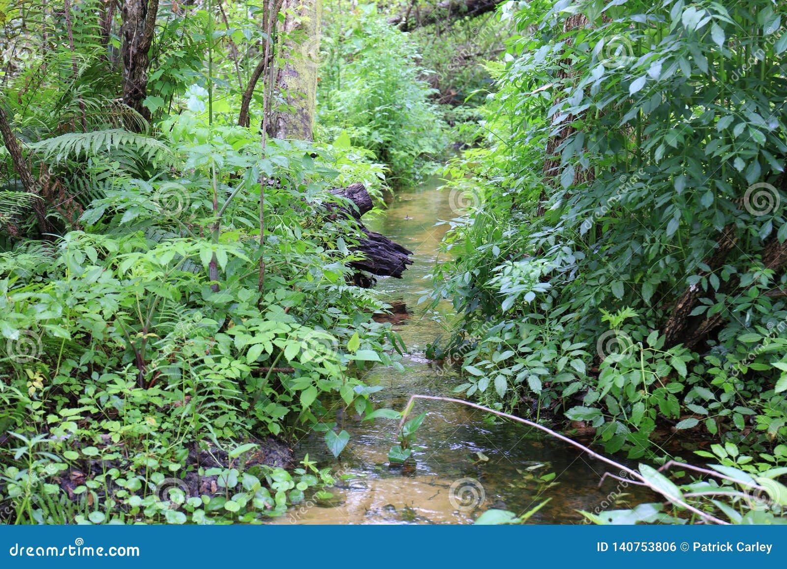 Córrego que flui na região selvagem de Florida