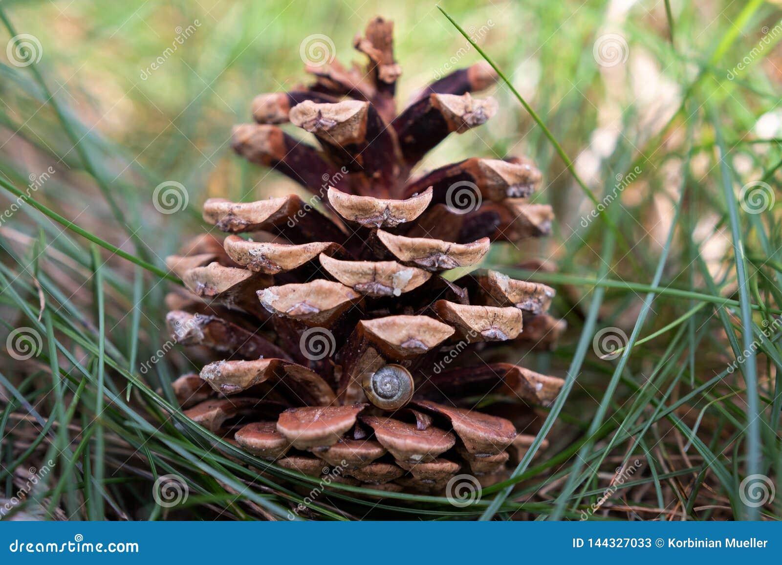 Cône de pin avec une petite coquille d escargot