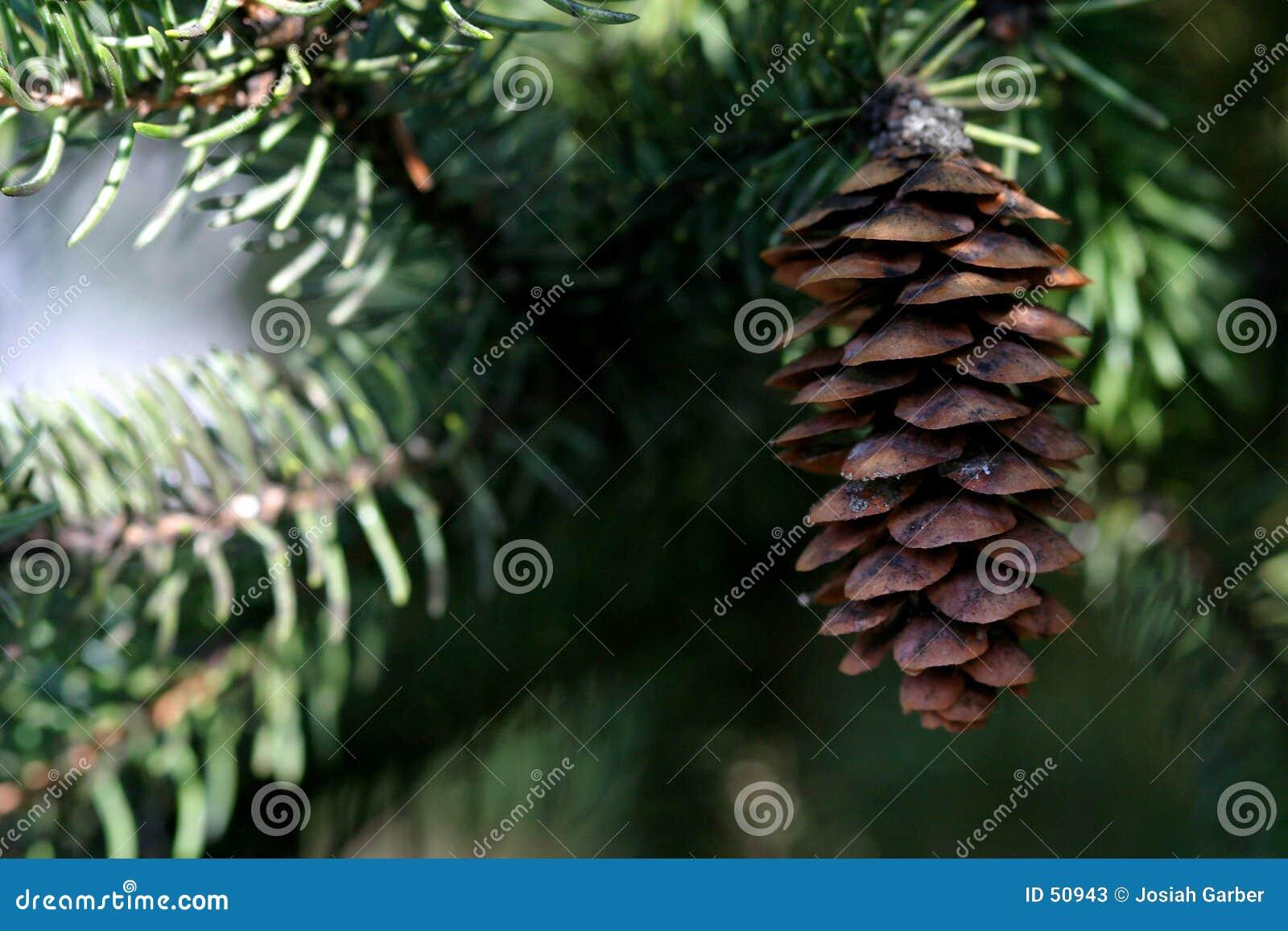 Download Cône et arbre de pin image stock. Image du nature, brun - 50943