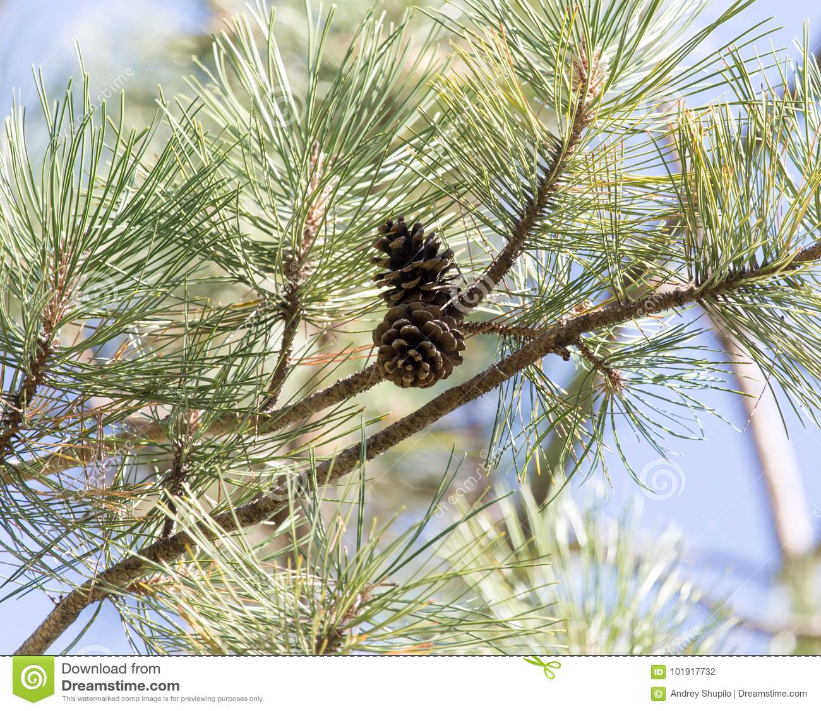 Cônes de cèdre sur l arbre