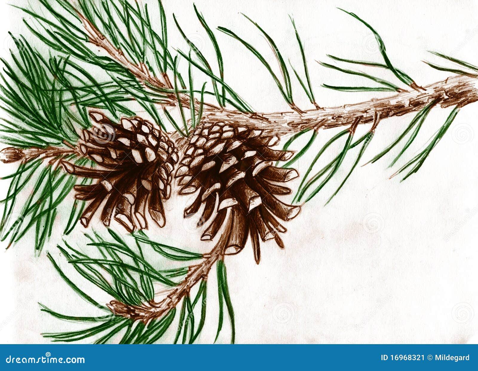 Cônes de pin sur le branchement d arbre