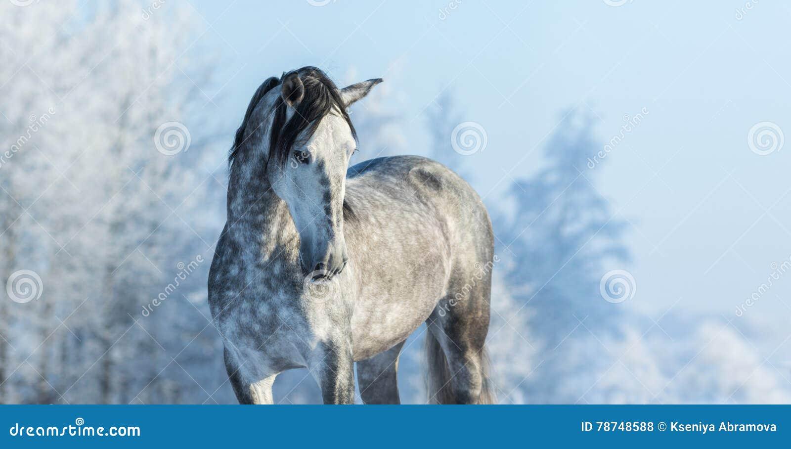 $c-andalusisch volbloed- grijs paard in de winterbos
