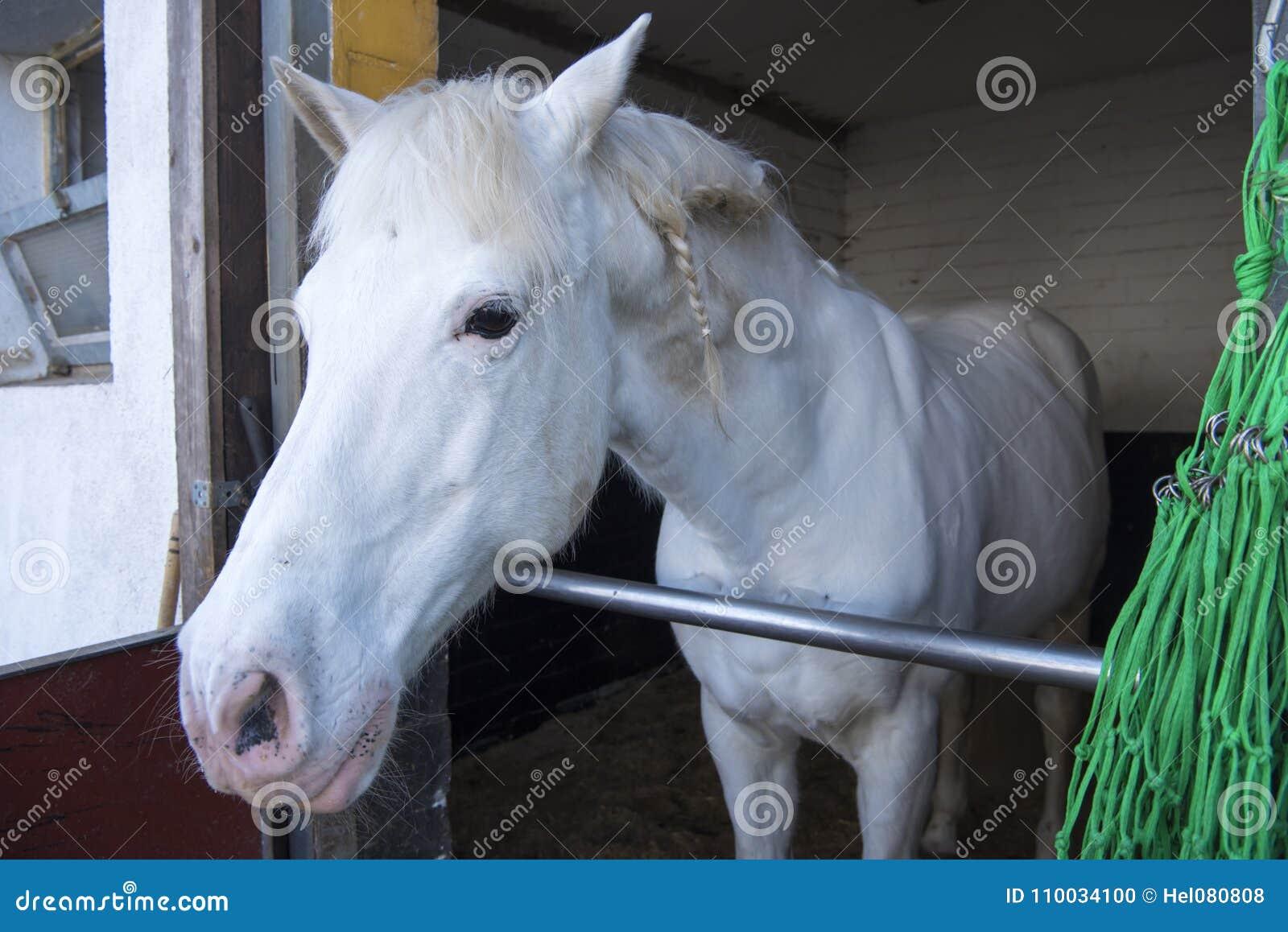 $c-andalusisch wit paard met vlecht