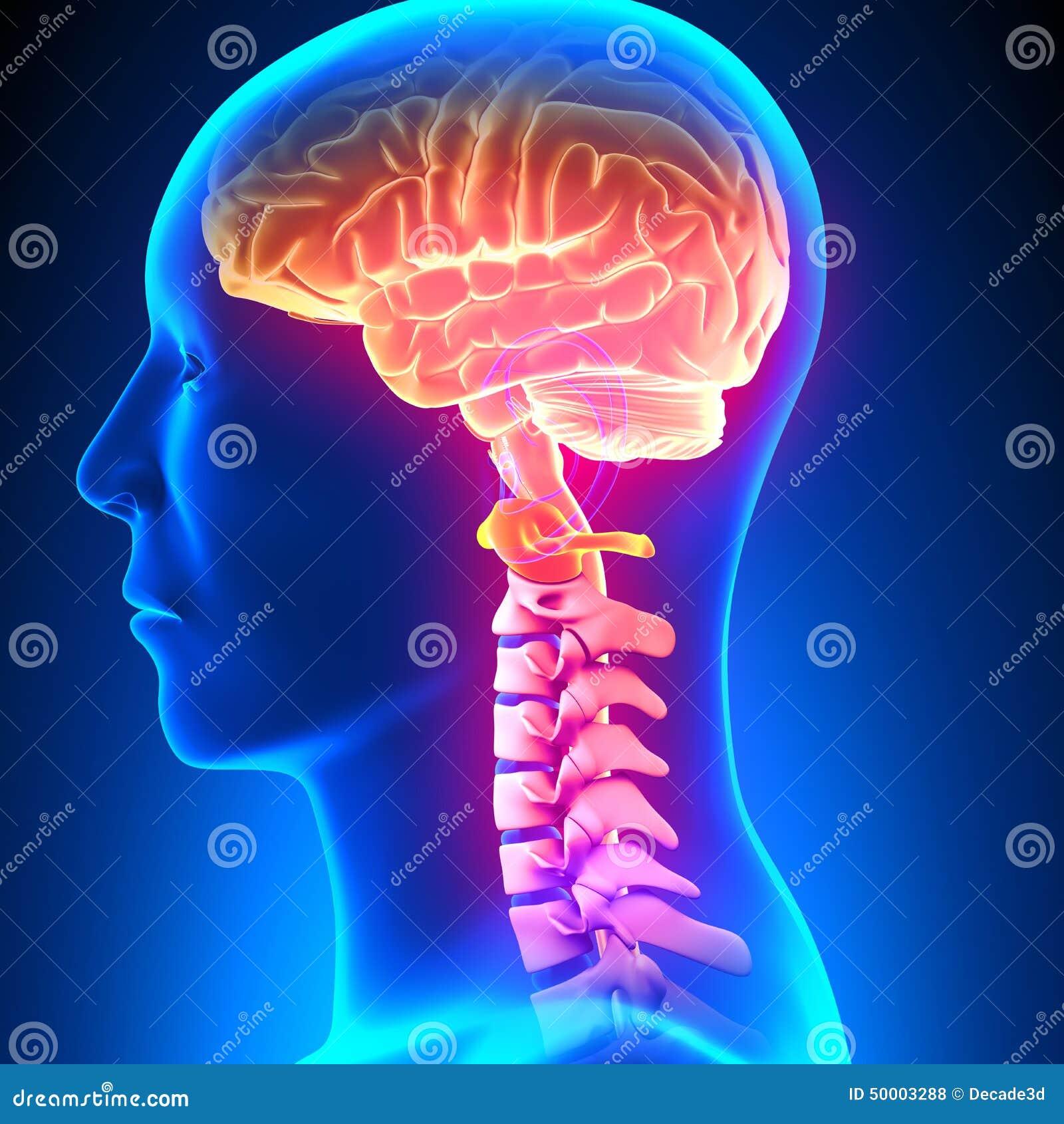 C1 Disc - Cervical Spine stock illustration. Illustration of ...