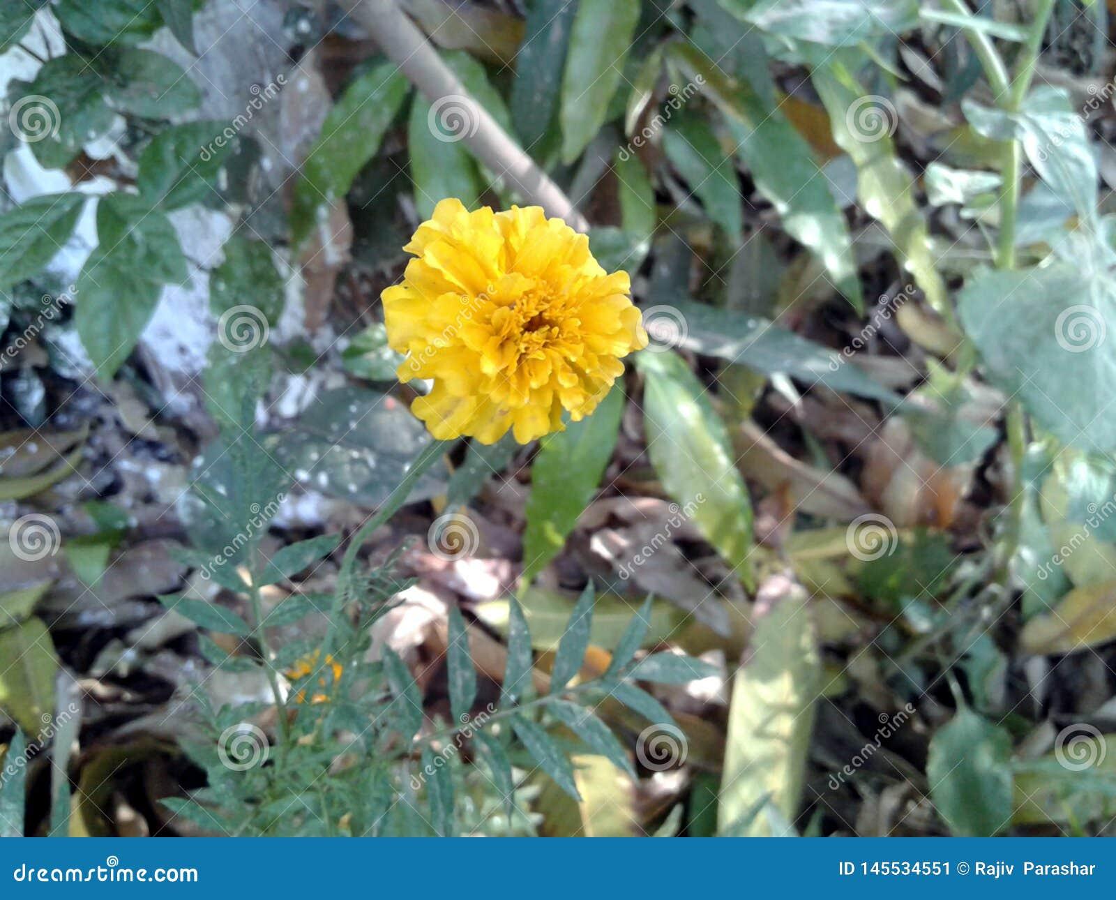 C est l image de l une fleur jaune de souci avec les feuilles vertes