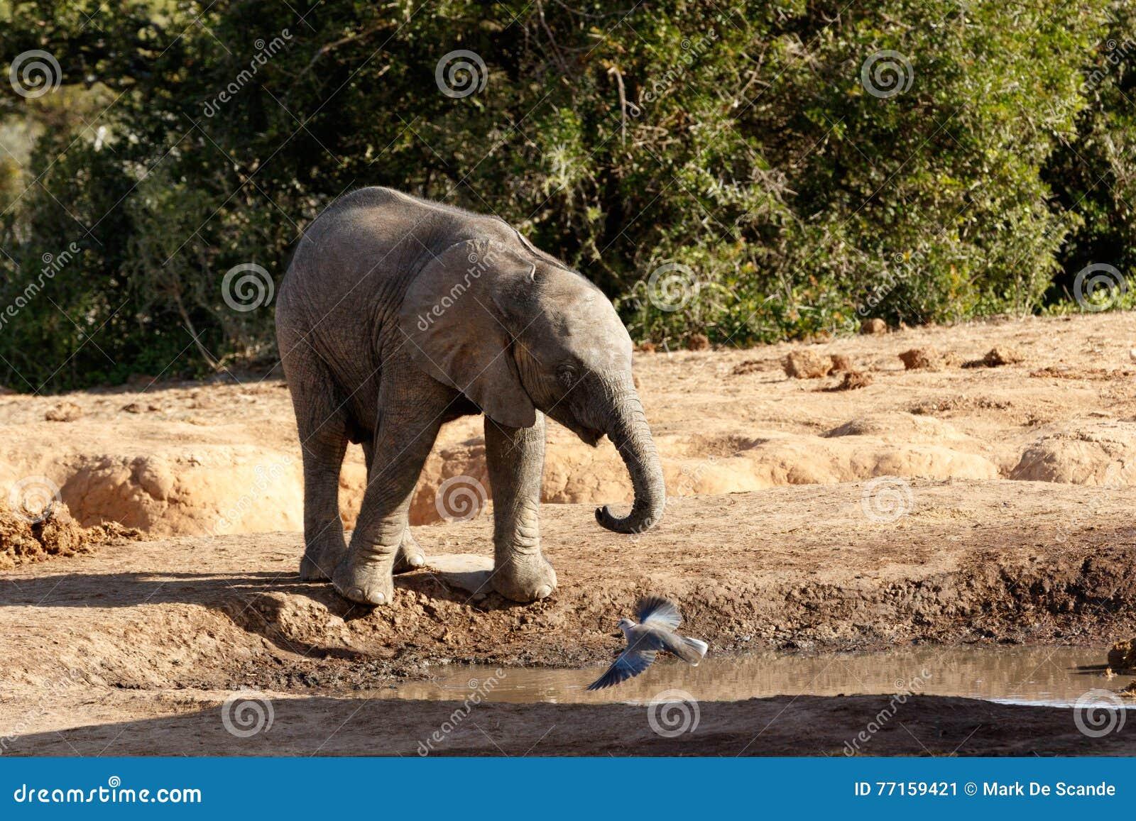 C est mon eau l éléphant africain de Bush