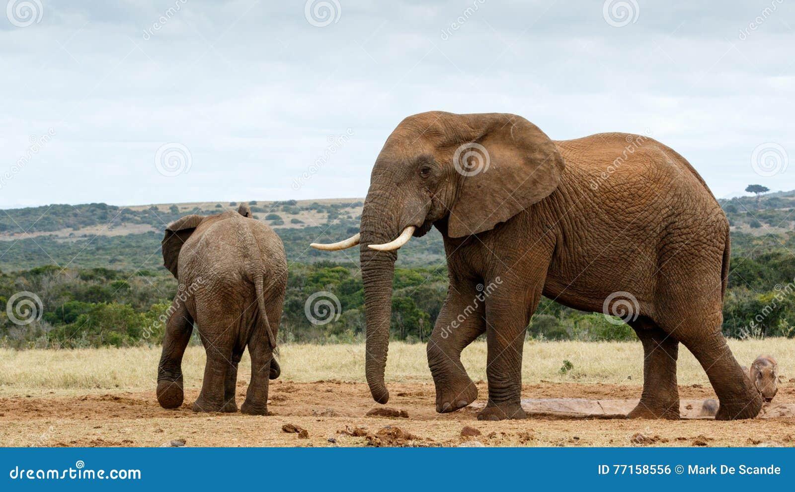 C est mon mouvement de l eau - éléphant de Bush d Africain
