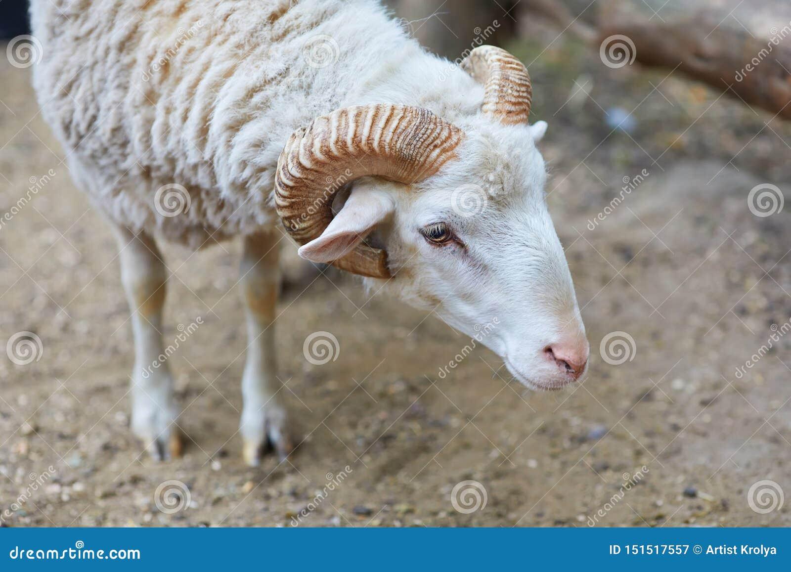 C?l?bre pour leurs moutons de laine - B?lier d ammon d Ovis